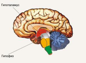Описание гормонов гипофиза и гипоталамуса