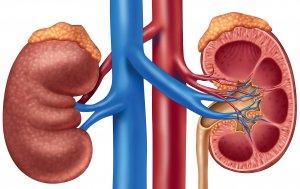 Надпочечники – парные железы эндокринной системы, которые вырабатывают важные гормоны