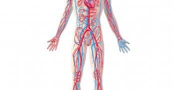 Кровеносные сосуды – это трубчатые образования разного диаметра и длины, по которых движется кровь