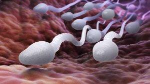 Сперма состоит из сперматозоидов и семенной жидкости