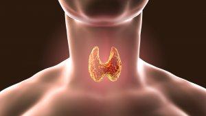 Щитовидная железа выделяет 2 важных гормона – Т3 и Т4