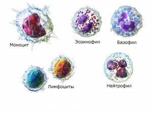 Лейкоформула представляет собой соотношение нескольких видов лейкоцитов