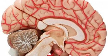 Мозолистое тело – это сплетение нервных волокон в головном мозге, соединяющее левое и правое полушария