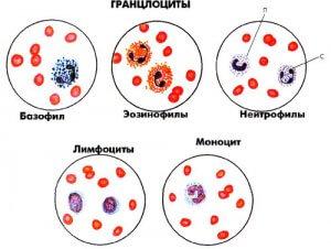Подгруппы лейкоцитов