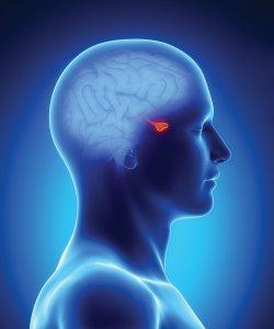 Гипофиз – это железа внутренней секреции, которая находится у основания головного мозга и выполняет важные функции