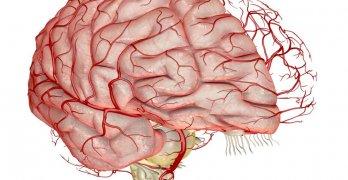 Головной мозг – главный регулятор всех функций в организме
