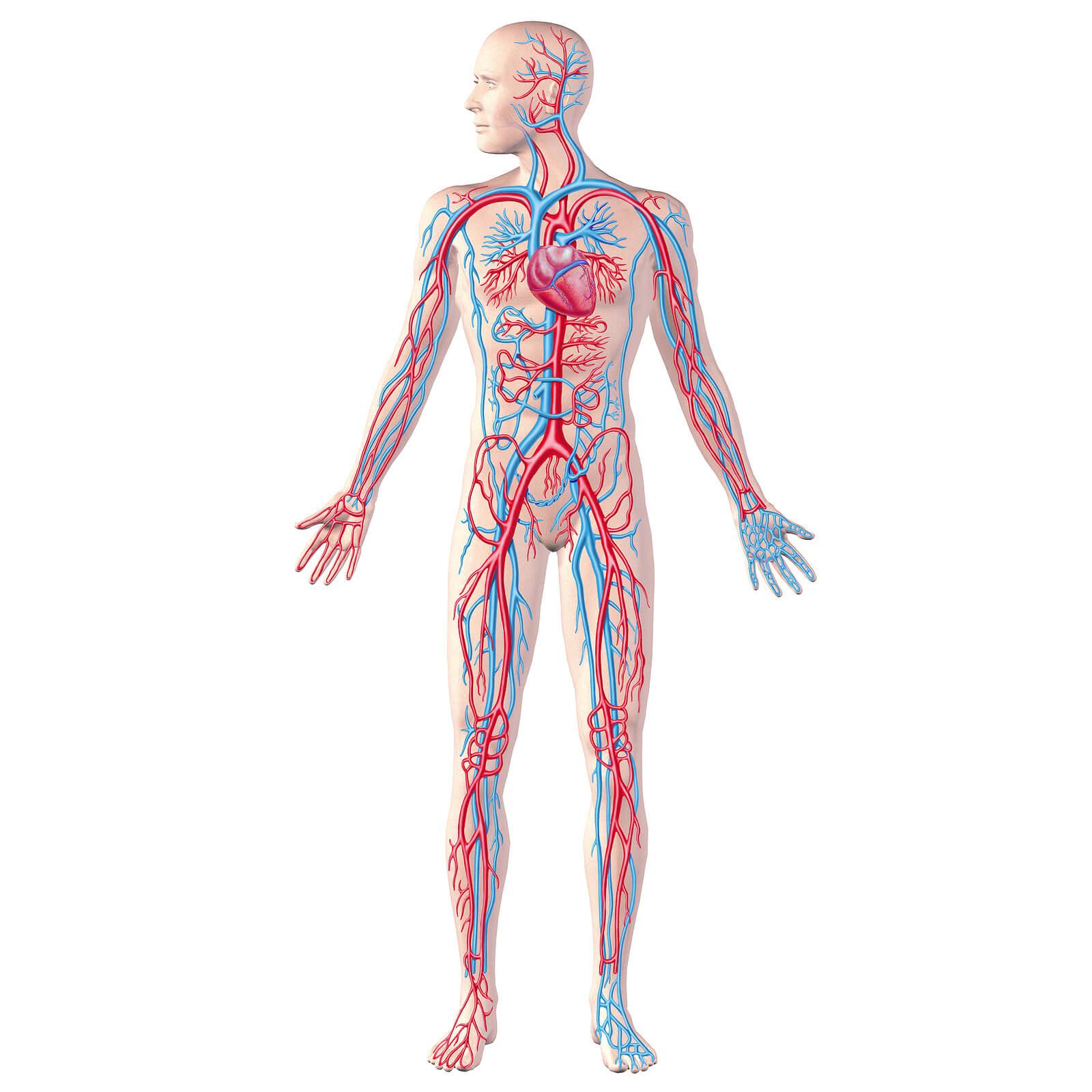 Проверка сосудов всего тела: самые информативные методы обследования