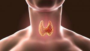 Щитовидная железа – эндокринный орган, выполняющий важные функции в организме