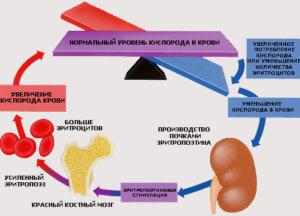 Эритропоэтин и Эритропоэз